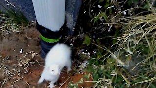 Cute ferret, Twiggy's weasel war dance.