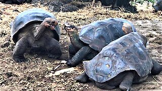 These giant tortoises engage in the world's slowest battle over tasty snacks