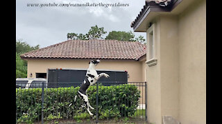 Funny Great Dane Leaps And Bounces At Spiderman Squirrel