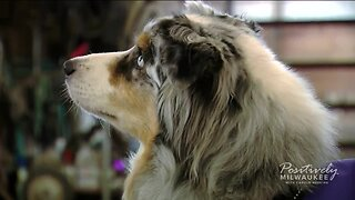 Community comes together to save an Australian Shepherd