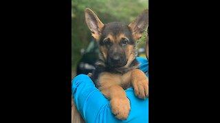 German Shepherd puppy trains for service dog