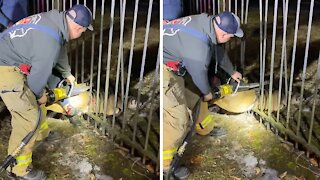 Firefighters separate bars to free deer trapped in fence