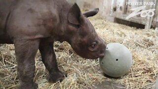 Baby black rhino celebrates first birthday