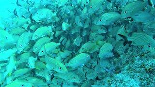 Scuba diver swims through beautiful school of fish in Belize