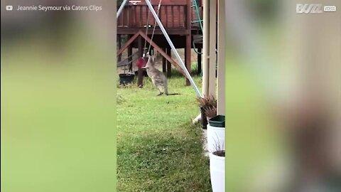Canguru bebé brinca com baloiço