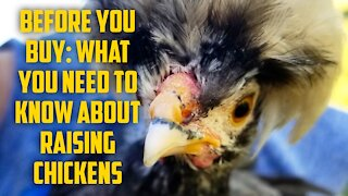 Before Buying Chickens: What You Need To Know