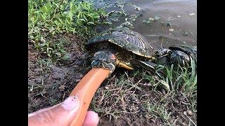 Wild Turtle Gets Hand Fed Tasty Hot Dog