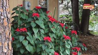 Repurposing Holiday plants  Morning Blend