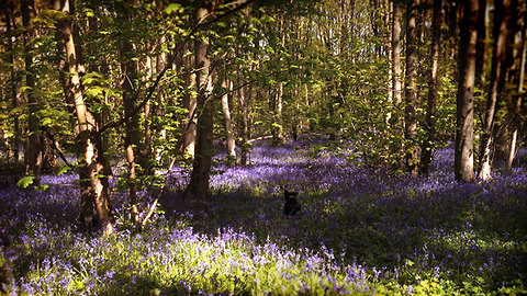 Dog frolics about in beautiful bluebell meadow