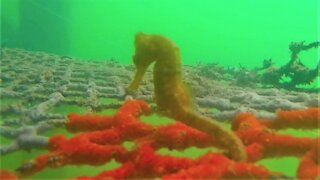 Swimmer finds beautiful sea horse fighting the current under the dock