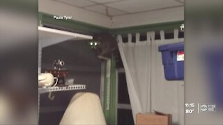 Homeowner calls Tampa police after raccoon broke into her home