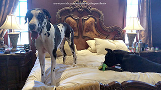 Great Dane totally destroys yet another duvet