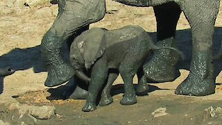 Clumsy baby elephant walks face first into mother's foot