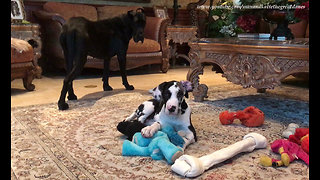Great Dane Puppy Loves Playing With Jumbo Bone