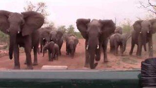 Snabla sur: Misfornøyde elefanter skremmer safariturister på biltur