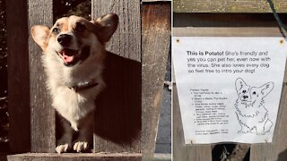 Corgi Gets Own Intro Sign To Brings Happiness To Everyone On Her Block