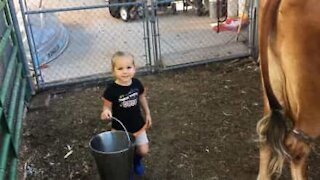 Two-year-old girl tries to milk a cow