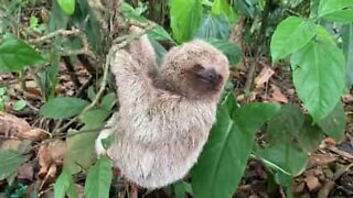 Baby sloth smiles for tourists