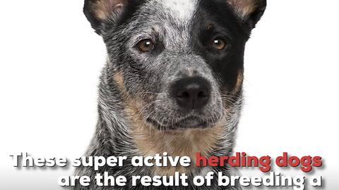 Australian Cattle Dog Breed Info