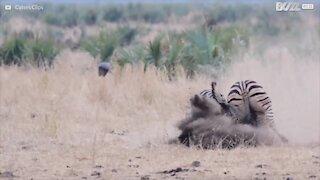 Kruger National Park er vært for en episk zebra kamp