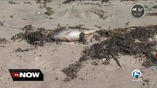 Beaches in Indian River County remain closed due to red tide