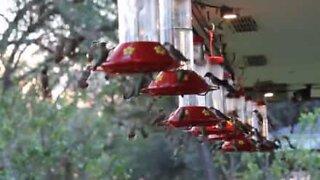 Colibrì si nutrono prima della grande migrazione