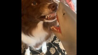Border Collie shows scary toy shark who's boss