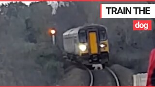 Hilarious video shows the moment a train is led into a station - by a dog on the tracks