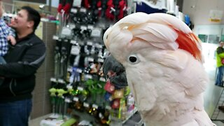 Moluccan cockatoo puts on a show while shopping!