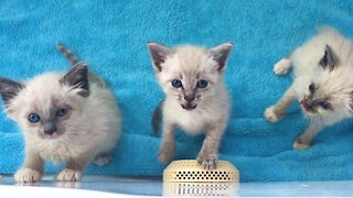 The loudest and cutest Siamese kittens ever