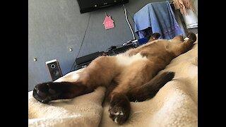My cat sleep like human