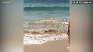 Tubarão-branco surge em praia na Austrália