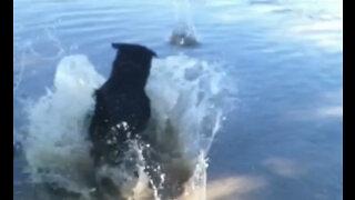 Dog diving for rocks