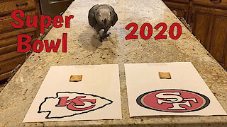 Talking parrot predicts the winner of Super Bowl LIV