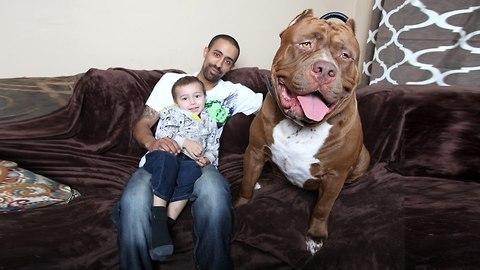 Meet Hulk, The Giant 175lb Family Pit Bull