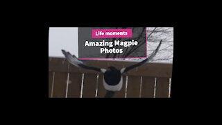 Fantastic photos Magpies photos