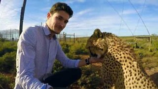 Cheetah loves to be petted