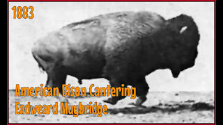 American Bison Cantering - 1883