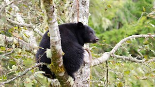 A Black Bear Got Caught Viciously Cuddling Some Fresh Laundry In A Vancouver Yard (VIDEO)