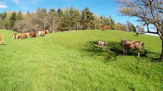Newborn spring calves have the zoomies in the meadow
