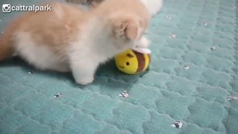 This Baby Munchkin Kitten Will Melt Your Heart2