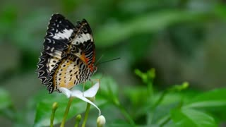 Butterfly standing on a white flower