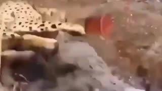 crocodile attacks tiger