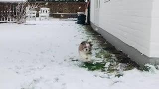 Shih Tzu Puppy Playing in Snow