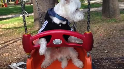 Oggie the westie. Watch until the very end