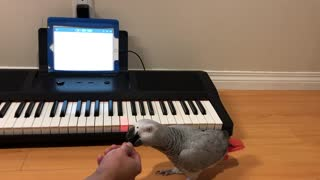 Incredibly talented parrot learns how to play Beethoven
