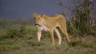 Lioness Walking Towards Camera