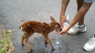 Friendly Baby Deer