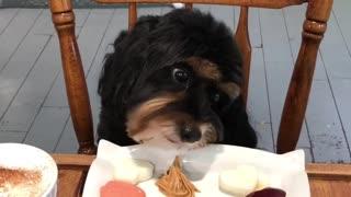Puppy enjoys tasty treats at dog cafe