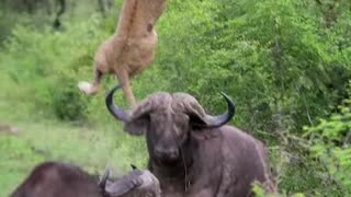Lion Launched into the Air by Brave Buffalo